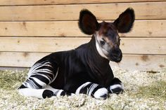 Baby Farm Animals, Zoo Animals, Animals And Pets, Cute Animals, Animal Babies, Wild Animals, The Zoo, Beautiful Creatures, Animals Beautiful