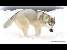 Husky Puppy eats Frozen Apples! HEY APPLE! Funny! - YouTube