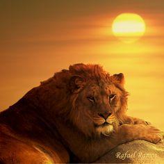 Lion at Sunset - Nice Shot !