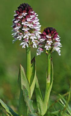 Burnt-tip orchid come era verde il mio campo - orchis brûlée - Neotinea ustulata subsp. ustulata