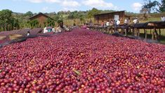 Located in southern Ethiopia, in Oromia lands, in the lush farmlands between the traditional coffee-producing communities of Guji and Shakisso. Mormora is a larger plantation that oversees its own quality and exports directly to consumers.
