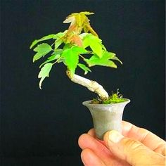 20 Pcs Mini Maple Seeds Plant Tree Seed Bonsai For Home Garden Planting Easy Grow Very Rare Tree Houseplants Potted Four Seasons