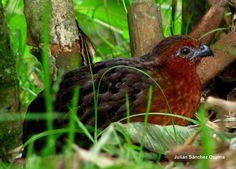 Odontophorus hyperythrus (Chestnut wood-quail) Perdiz colorada Male by Hector Julian Sanchez Ospina, via Flickr
