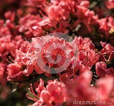 Crimson peach sakura, cherry blossom flowers of Nara, Japan.
