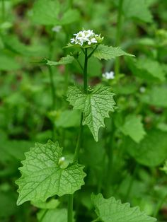 Foraging for Hedge Garlic/Jack-By-The-Hedge - Let's Grow Wild Edible Wild Plants, Real Plants, Strawberry Beds, Mustard Plant, Wood Sorrel, Garden Weeds, Wild Edibles, Flower Fairies, Seed Pods
