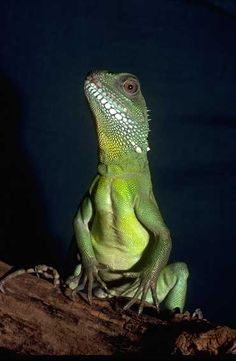 Iguana asexual reproduction budding