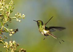 Foto bandeirinha (Discosura longicaudus) por Ciro Albano | Wiki Aves - A Enciclopédia das Aves do Brasil