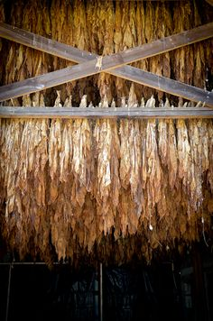Tobacco leaves drying in Kentucky