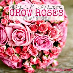 If you love having flowers in your home, consider learning how to grow roses. Fill your home with beauty. Learn today.