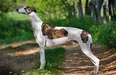 Beautiful greyhound