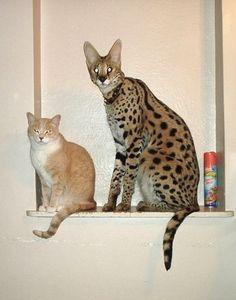 cat and savannah cat