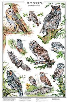 Owls Volume 1. Via Charting Nature. http://www.chartingnature.com/poster.cfm/owls-vol-1-bird-poster/159