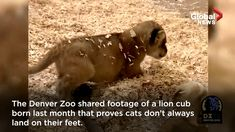 The Denver Zoo recently shared footage of a lion cub born last month that proves cats don't always land on their feet. Funny Tiger, Denver Zoo, Philadelphia Zoo, Cute Lion, Lion Cub, Cute Animal Photos, Travel Oklahoma, Cute Little Animals, Paisajes
