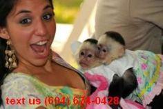 Charming Capuchin Monkeys for Adoption - Arkadelphia, AR   ASNClassifieds