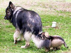 shiloh shepherd photo | Stardust Shiloh Shepherds - Champion Rare Breed Shiloh Shepherds