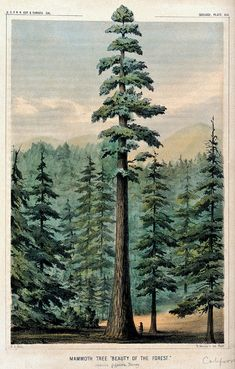 """Wellingtonia or mammoth tree (Sequoiadendron giganteum) towering above surrounding forest and person at its base."" Coloured lithograph after W. P. Blake, c. 1857."