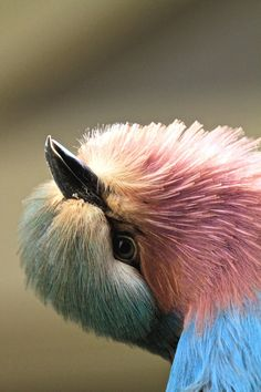 fairy-wren: (via Hello i'm here! by Frank Vroom / *Lilac-Breasted Roller Pretty Birds, Beautiful Birds, Beautiful World, Kinds Of Birds, All Birds, Lilac Breasted Roller, Bird People, Funny Birds, Mundo Animal