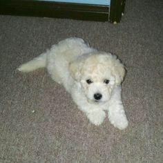 mini toy poodle puppy
