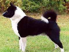 Karelian Bear Dog Breed Information - American Kennel Club