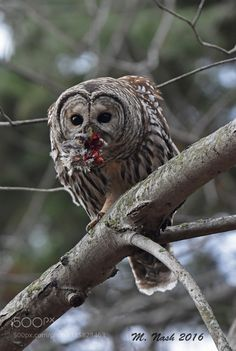 Barred owl lunch by mnash77 #architecture #building #architexture #city #buildings #skyscraper #urban #design #minimal #cities #town #street #art #arts #architecturelovers #abstract #photooftheday #amazing #picoftheday