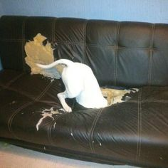Hahahaha! Where did that chip go?   Adorable Bull Terrier.