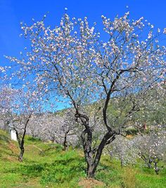 Almond trees in full bloom, late February. Just outside Guaro in the Guadalhorce walley in Andalusia, Spain. Andalusia Spain, Countryside, Almond, The Outsiders, February, Bloom, Trees, Plants, Beautiful
