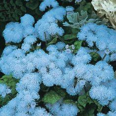 Amazon.com : Best Garden Seeds New Ageratum 'Blue Ball' Quality Flower Seeds, 38 Seeds, Professional pack, blue cut indoor flowers : Patio, Lawn & Garden