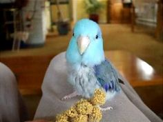 Land of The Littles: Getting To Know Parrotlets