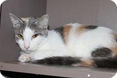 Medina, OH - Siamese. Meet Payton, a cat for adoption. http://www.adoptapet.com/pet/13059376-medina-ohio-cat
