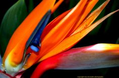 Items similar to L'Oiseau de Paradis (Bird of Paradise flower) framed print on Etsy Birds Of Paradise Flower, Copyright Images, Tropical Flowers, Note Cards, Flora, Framed Prints, Consideration, Beautiful, Nature