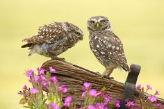 Two Little Owls by simonroyphotography #animals #pets #fadighanemmd
