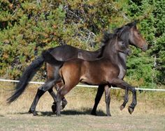 "Stepping Out Together…Mother and daughter stepping in matching step….The mare is named ""Dancers Mirabella""… she's a Friesian/Arabian mix…her daughter ""Dancer Bella Pantera"" is a Friesian/Arabian/Andalusian…sired by the Andalusian stallion Romero de Evelon…Photo by Jane Laremore"