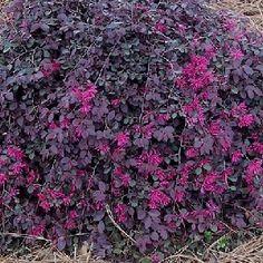 Loropetalum Purple Majesty - Google Search
