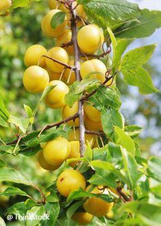 Le prunier | Quel arbre fruitier choisir pour votre jardin? - Famille - Notre Temps