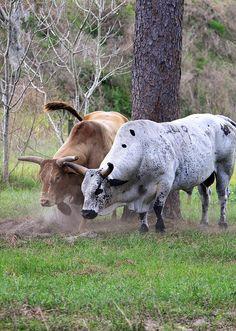 Bulls Keeping The Flys Off Bucking Bulls, John Boy, Eyes Wallpaper, Bull Cow, Hunting Humor, Bull Riding, Livestock, Cattle, Animal Drawings