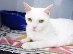 """""""Nieve"""" Needs a good home!  CEI # 6026  www.CatsExclusive.org  Fixed, vaccinated, negative for FIV/FeLV/HW, de-wormed, de-fleaed."""