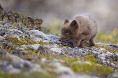 Arctic Fox (Vulpes lagopus fuliginosus)   Flickr - Photo Sharing!