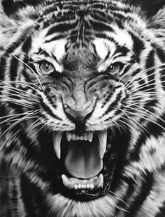angry tiger drawing google search tats pinterest. Black Bedroom Furniture Sets. Home Design Ideas