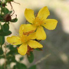 #johanniskraut Celtic, Herbalism, Garden, Flowers, Plants, Incense, Wellness, Camping, Yoga