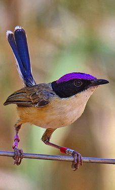 Male Purple-crowned Fairy-wren - Northern Australia by Reinhild Waschkies