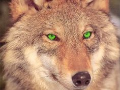 You are a red wolf. You are kind and beautiful, as well as the closest relative of wolves to the fox. Many people mistake you for a fox and you are in mythical fairy tales.