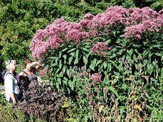 Plettet hjortetrøst Eupatorium maculatum 'Atropurpureum' Denne hjortetrøst bliver let over 2 meter høj. Alligevel står den fast på sine tykke, røde stængler og behøver ingen støtte. Blomsterne er violetrøde og tiltrækker mange sommerfugle fra juli til september. Den tåler periodevis oversvømmelse, men bryder sig ikke om sur jord.Foto: Bolette Crossland