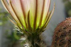 Cactus octubre 2008 - Adriana Celli - Álbumes web de Picasa Natural, Cactus, Fruit, Plants, Pest Control, Compost, October, Picasa, Flowers