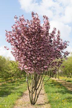 All Plants, Green Plants, Green Garden, Shade Garden, Small Trees For Garden, Sakura, Prunus, Green Life, Trees And Shrubs