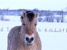 Norwegian fjord horse 1