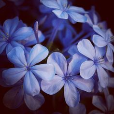Plumbago #flower #blue #plants #flowers #garden #instablooms #nature #outdoors
