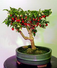 bonsai chili.  Capsicum pubescens I think...