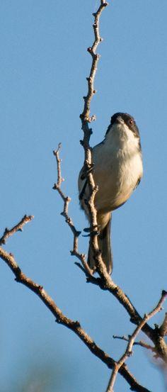 Black-capped Warbling-Finch (Poospiza melanoleuca)