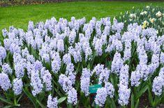 Blue Eyes from Dutch Grown - Year of the Hyacinth - National Garden Bureau Summer Bulbs, Spring Flowering Bulbs, Spring Bulbs, Bulb Flowers, Spring Flowers, Garden Plants, Blue Eyes, Beautiful Flowers, Home And Garden
