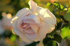 Sunrise in the Rose Garden. Photo by Mademoiselle Mermaid.